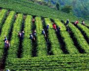 随县 10000.00亩 茶园 出租招商油用牡丹套种价格10.0元/亩/年