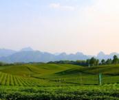 随县 10000.00亩 茶园 出租招商药用芍药套种价格10.0元/亩/年