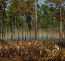 700亩16-20枞树寻求老板割松香
